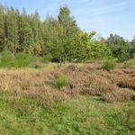 Bereich mit Besenheide (Calluna vulgaris) in der Dellbrücker Heide