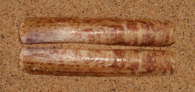 Razor clam (Solen sloanii)