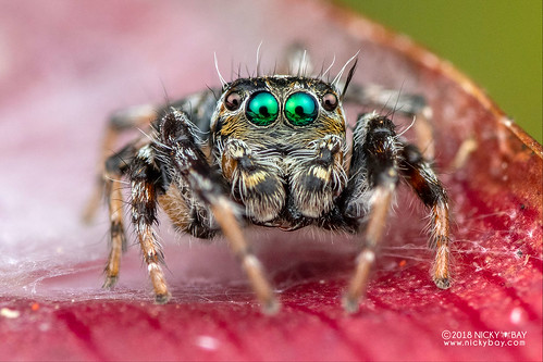 Green-eyed jumping spider (cf. Hyllus sp.) - DSC_9525 | by nickybay