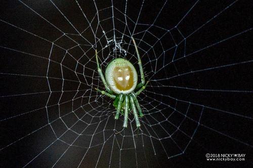 Cucumber orb weaver (Prasonica cf. seriata) - DSC_8784 | by nickybay