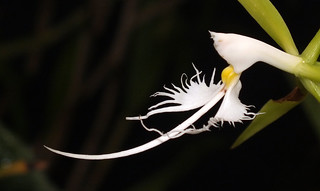 Hairy-lip orchid (Coilostylis ciliaris) flower close up