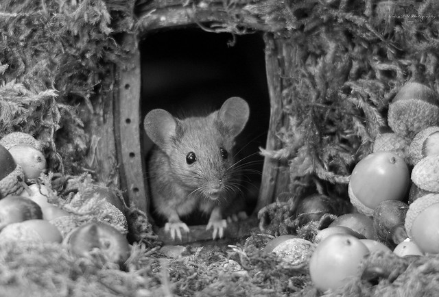 House mouse in a mossy hole with acorns and berry's b.w (1)