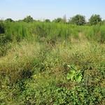 Ein Bestand von Besenginster (Cytisus scoparius) in der Dellbrücker Heide