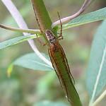 Herbstspinne Artenkomplex (Metellina segmentata/mengei) im Schellenberger Wald