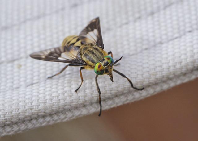 Splayed Deerfly - Chrysops caecutiens