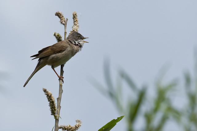 singing common whitethroat (Sylvia communis)