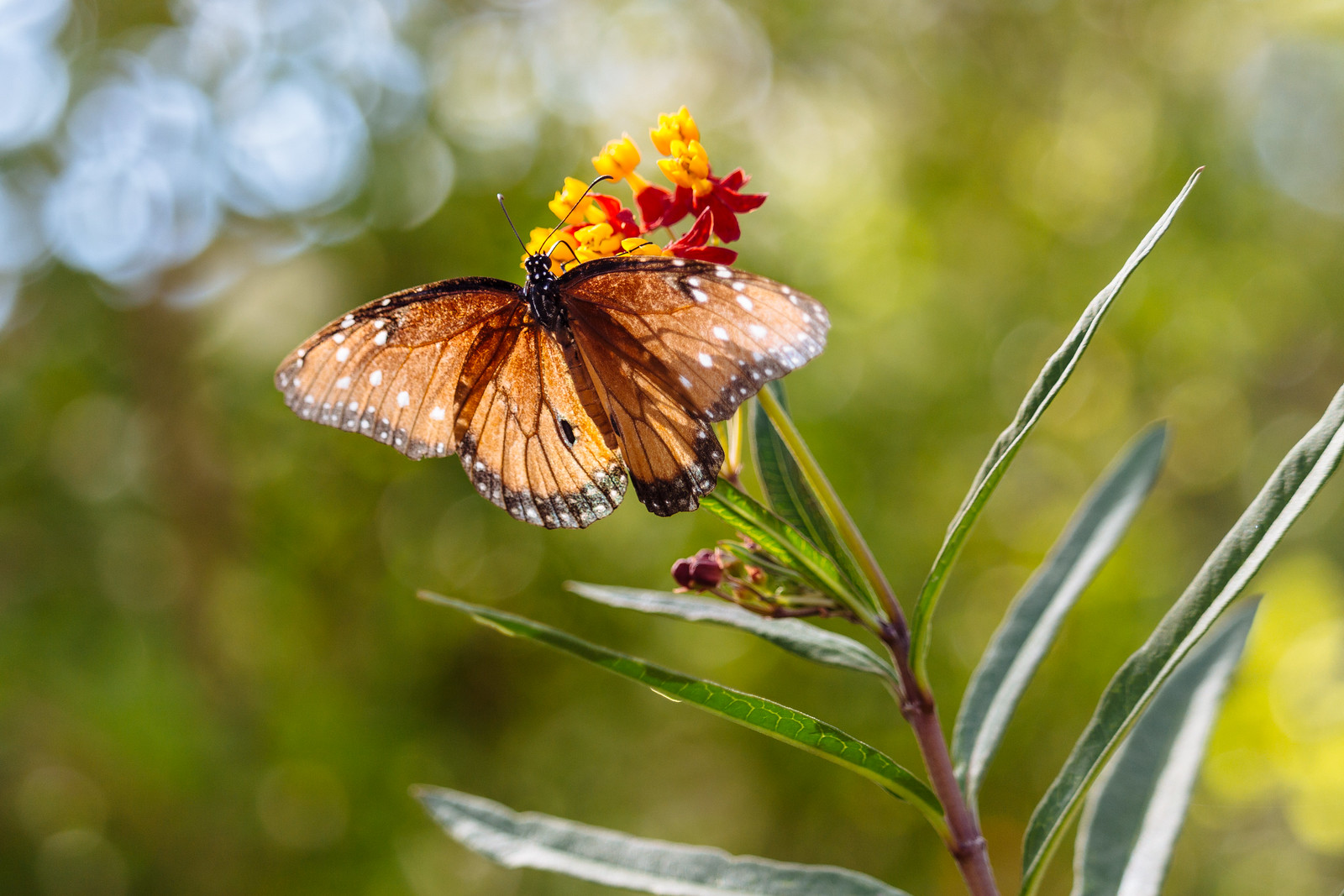 A butterfly with orange wings drinks nectar from a yellow and red flower