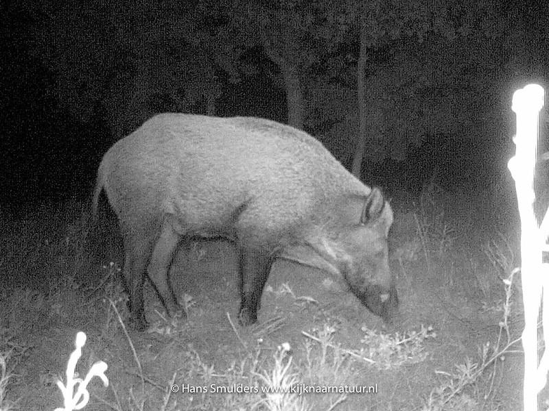 Wild zwijn (Sus scrofa)-IMAG0045