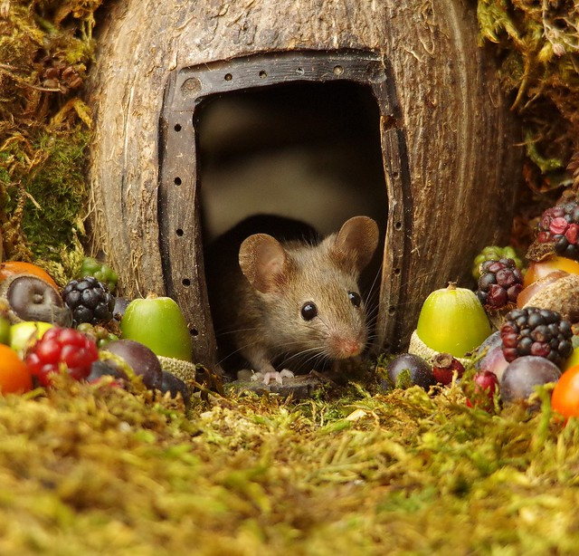 wild house mouse in log pile  with fruits and berry's (2)
