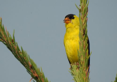bird americangoldfinch fishcreekpark