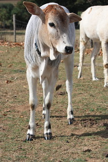 zebu calf | by @tc_goatwriter