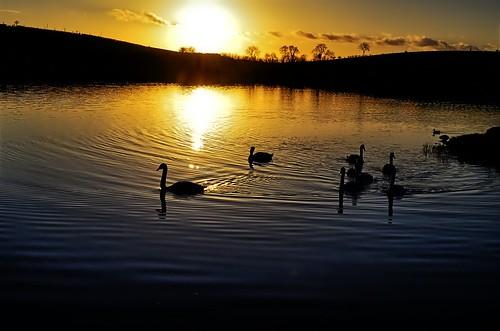 a superb golden sunset kernan lough gilford swans trees water