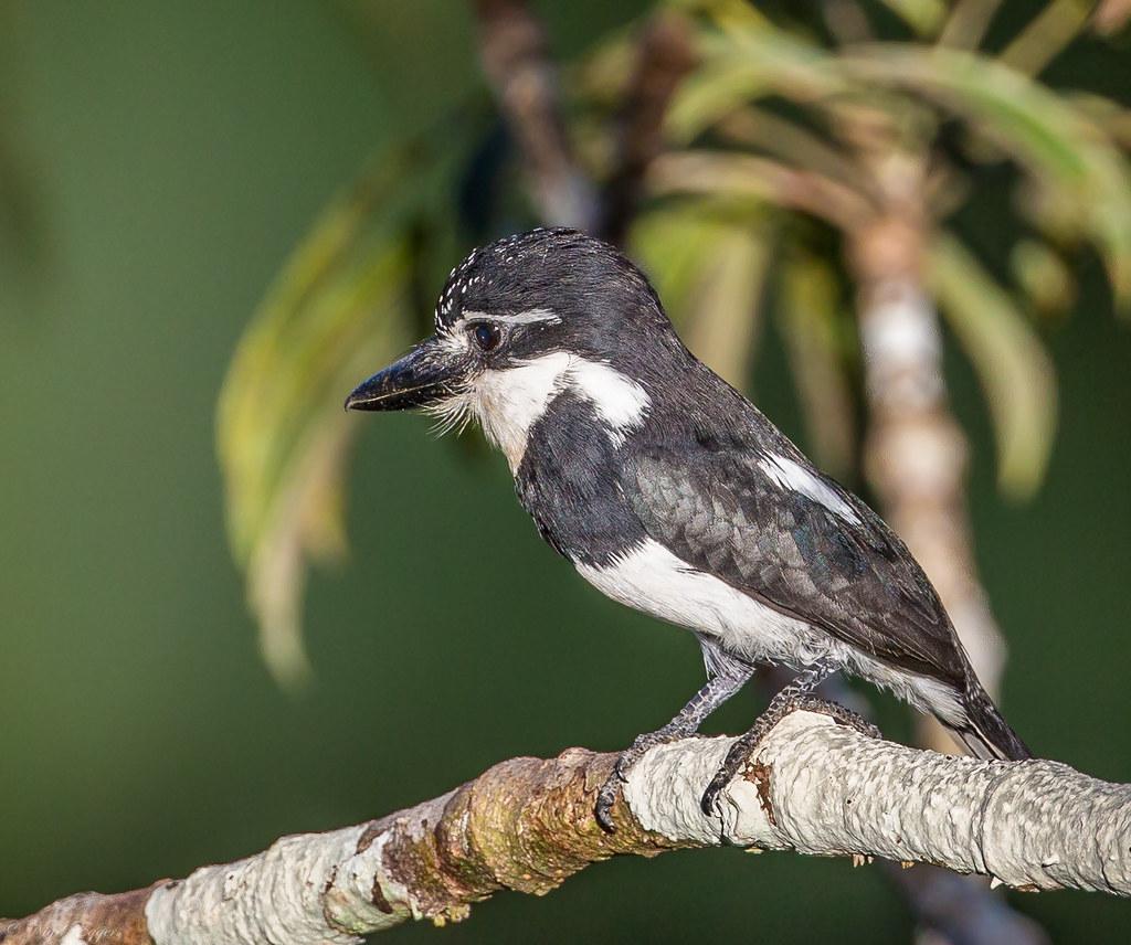 Pied Puffbird (Notharchus tectus)