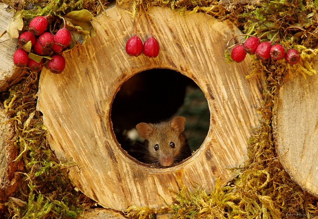 mouse in wood hole with berrys (1)