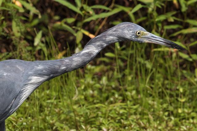 Immature Little Blue Heron-3