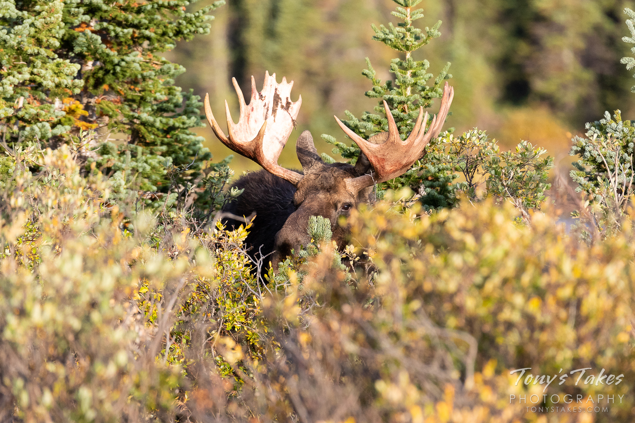 Hide and seek with the biggest animal in the forest