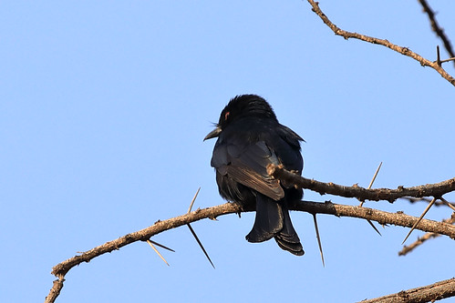 Fork-tailed drongo   by dmmaus
