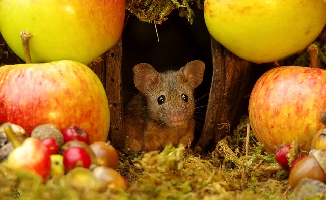 wild house mouse with autumn fruits apples and nuts (2)