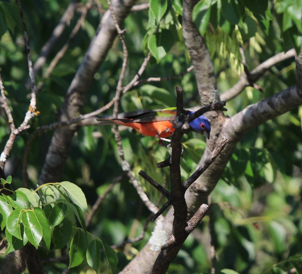 Painted BUnting Ft worth Nature center 5-18