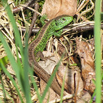 Zauneidechse (Sand Lizard, Lacerta agilis), Männchen