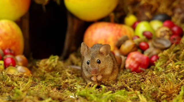 wild house mouse with autumn fruits apples and nuts (8)