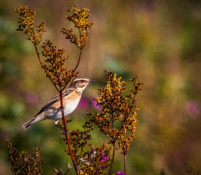 Whinchat, Isle of Wight