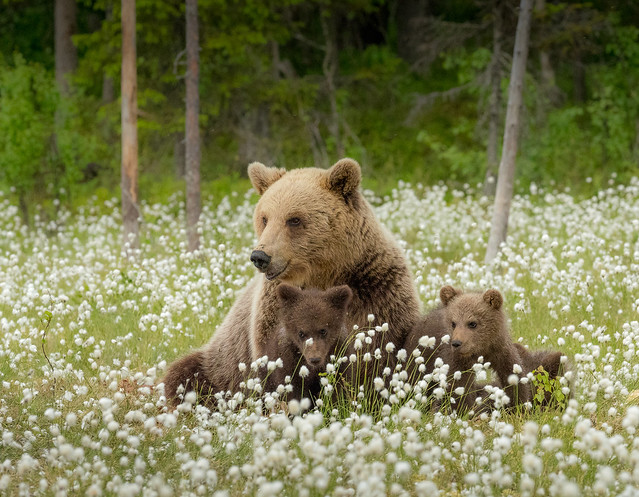 Brown Bear photography in Finland