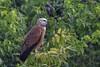 Black-collared Hawk (Busarellus nigricollis) Pantanal, Mato Grosso, Brazil 2017-18 by Ricardo Bitran