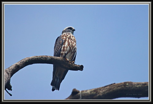 Juvenile Mississippi Kite | by Gregs eBirds