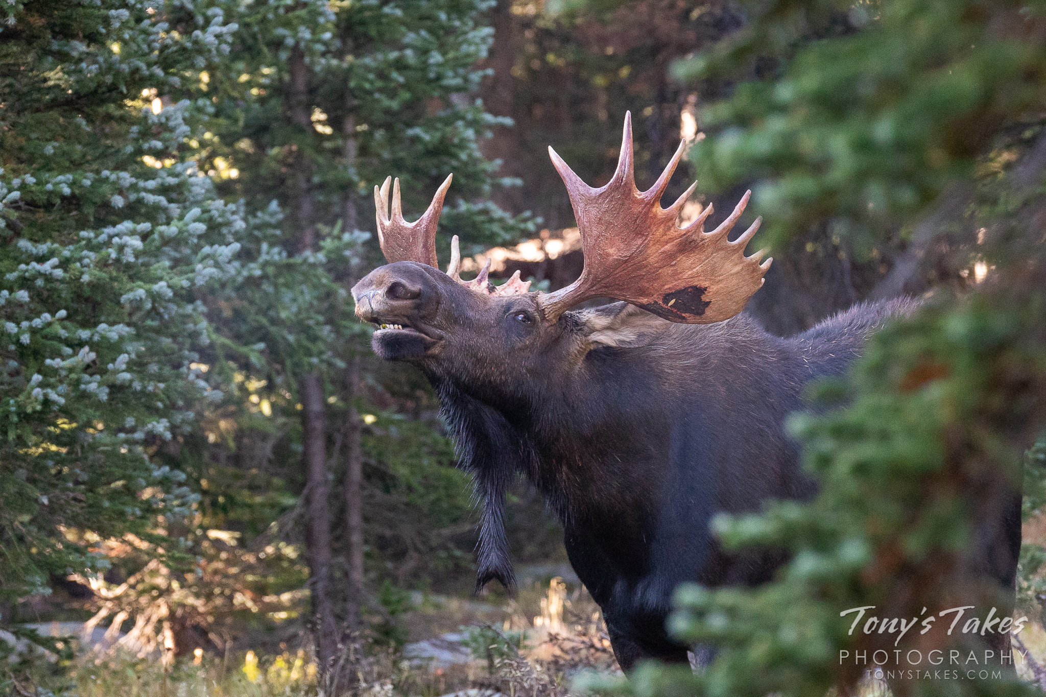 A bull moose takes a big whiff of the air as he looks for a mate. (© Tony's Takes)