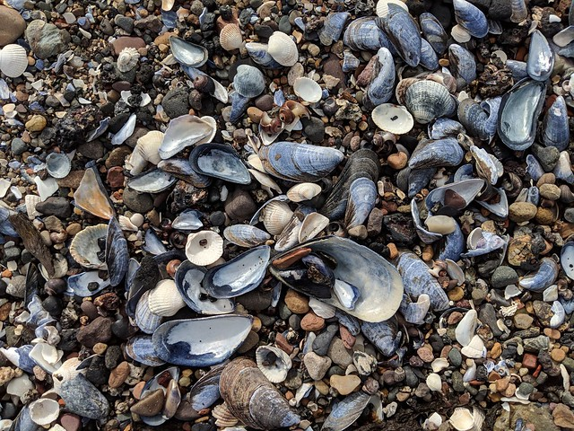 Mussel shells on the strand at Musselburgh.