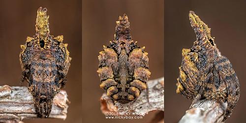 Tree-stump orb weaver (Poltys sp.) - DSC_8888c | by nickybay