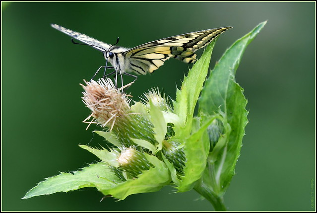 Le Machaon ou Grand porte-queue ( Papilio machaon )