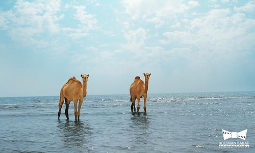 Sea Camel