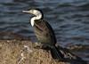 Pied Cormorant Phalacrocorax varius by Neil Cheshire