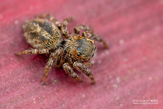 Green-eyed jumping spider (cf. Hyllus sp.) - DSC_9521 | by nickybay