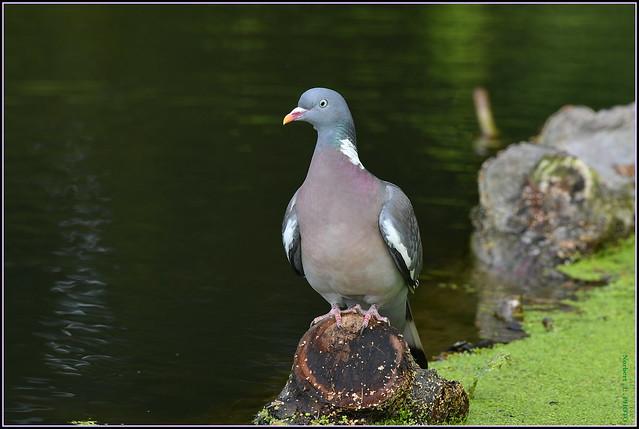 Pigeon ramier ( Columba palumbus )