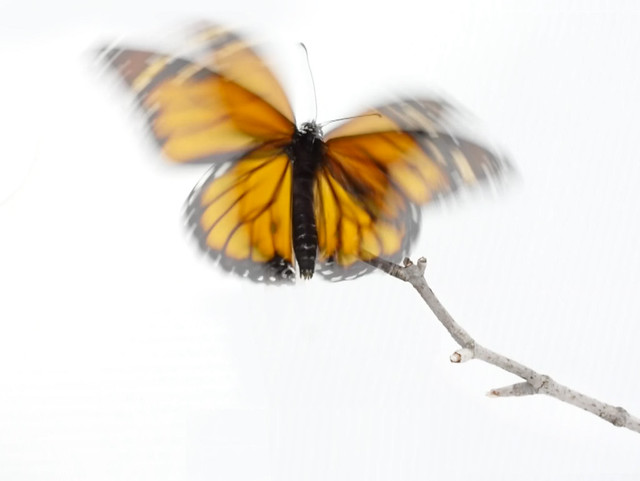 Monarch butterfly time-lapse is live!