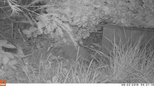 One-eyed Tim the Hedgehog