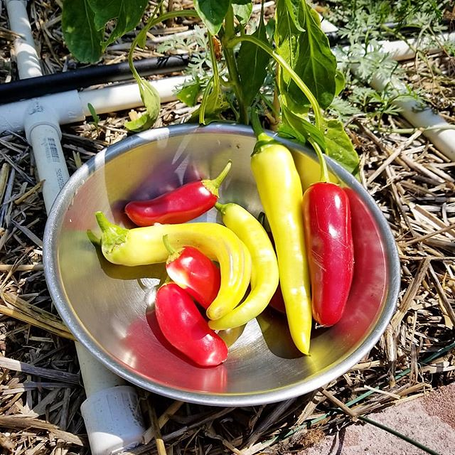 Today's harvest: Sweet Yellow Banana and Coolepeño Peppers. #peppers #pepper #capsicum #coolepenopeppers #coolepeno #sweetbananapeppers #joelsharvest #harvest #sfg #squarefootgarden #pvcpipes #pvcpipe