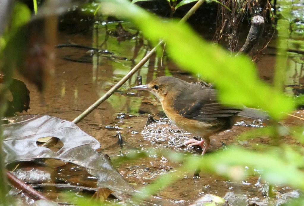 Hormiguero Plateado, Silvered Antbird (Sclateria naevia) (Sclateria naevia argentata)