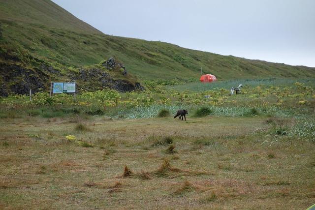 Arctic fox running through camp.