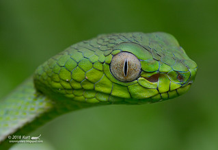 Trimeresurus sumatranus_MG_1344 copy | by Kurt (OrionHerpAdventure.com)