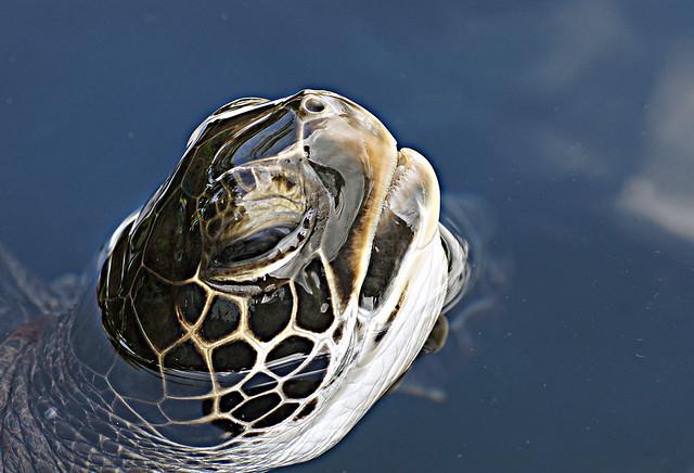 Hawaiian Green Sea Turtle.