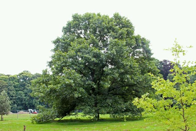 Quercus x bushii Sarg. - BG Meise