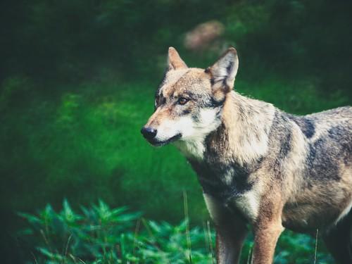 Wolf Schleswig Holstein