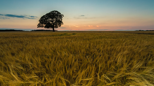 lone tree sunset evening light tetbury gloucestershire crops