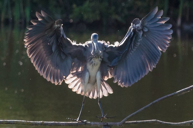Grey Heron (young blood)