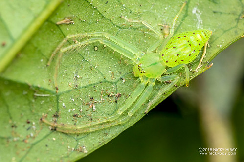 Green crab spider (Oxytate sp.) - DSC_2459   by nickybay