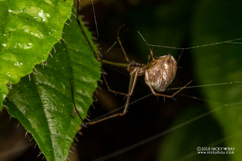 Big-jawed spider (cf. Tylorida sp.) - DSC_9944   by nickybay